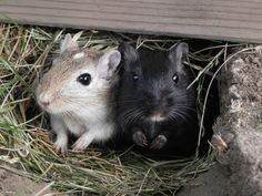 Me and my sister's gerbils. midge(black) sage(tan) midge is mine and sage is my sisters