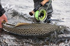 Einarsson Fly Reel used for fishing monster brown trout in Lake Thingvellir Iceland. Einarsson Fly Reel used for fishing monster brown trout in Lake Thingvellir Iceland. Fly Fishing Rods, Fishing Reels, Fishing Photos, Fly Reels, Brown Trout, Iceland Travel, Winter Garden, New Trends, Photo Galleries