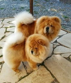 """The Chow Chow is a dog breed originally from northern Chinawhere it is referred to as Songshi Quanwhich means """"puffy-lion dog"""". The Chow Chow is a dog breed originally from northern Chinawhere it is referred to as Songshi Quanwhich means """"puffy-lion dog"""". Perros Chow Chow, Chow Chow Dogs, Puppy Chow, Chow Dog Breed, Dog Breeds, Cute Baby Animals, Animals And Pets, Sweet Dogs, Lion Dog"""