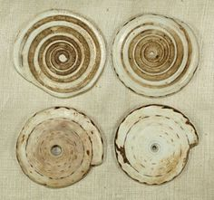 Kualia Shell from Papua New Guinea | They are between 100 and 200 years old.  The shells were used as currency in PNG and they are 45-50 mm in diameter and 6 - 8 mm thick.