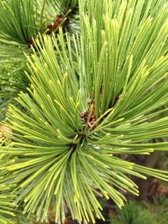 Bosnian Pine. I want one for my as yet unplanted conifer garden.