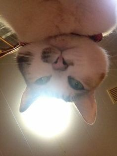 Japanese tranlated by google: Of this to the iPhone camera roll cat of which seems to have learned to take itself had entered the mass  English?  kitty selfie!!!!