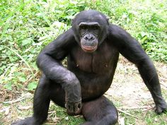 Chimpanzee Gallery, Images, Photos, Pictures, Photography