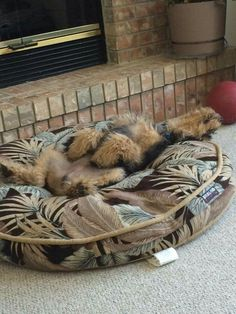 Airedale Sleep Position Puppy Style!