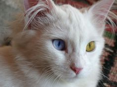 Turkish Van Cat, One Eye Blue, The Other One Green, No Photoshop