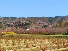 福島市の花見山公園に桜を見に行ってきました : 旅行記「俺たち旅に出る」