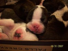 boston terrier puppies at the vet for their first checkup :)