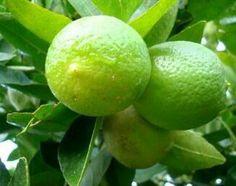Pé de Limão Galego