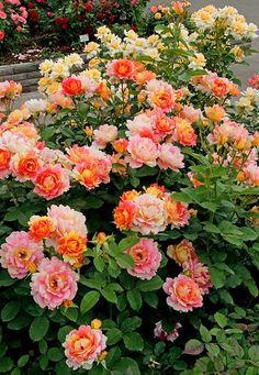 Polyantha Rose of Cisterciens | Home Rose des Cisterciens