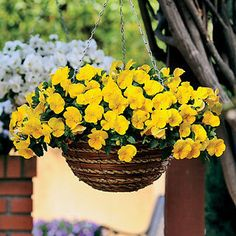 Pansy Cool Wave Yellow