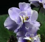 East Wind flower