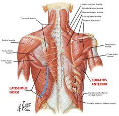 Gross Anatomy, Human Body Anatomy, Human Anatomy And Physiology, Muscle Anatomy, Shoulder Blade Muscles, Muscular System Anatomy, Shoulder Anatomy, Ear Reflexology, Infraspinatus Muscle