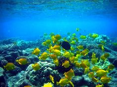 Yellow Tang School of Fish on a coral reef