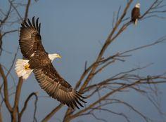 Illuminated American Bald Eagle