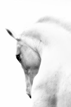 Pro Tour Memorabilia White Horse Photographic Print on Canvas & Reviews | Wayfair