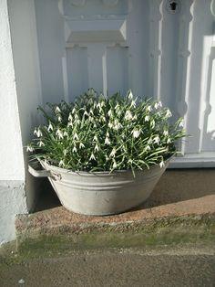 snowdrops in a zinc dish pan. Window Planters, Garden Planters, Dream Garden, Home And Garden, White Gardens, Spring Home, Lily Of The Valley, Plant Decor, Garden Inspiration