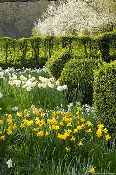 A beautifully blossoming fruit tree overlooks daffodils, in yellow and white. Beautiful Gardens, Beautiful Flowers, Narcisse, Small Shrubs, Drought Tolerant Plants, Plantation, Garden Spaces, Fruit Trees, Flower Beds