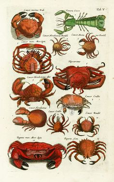 Crab - Historia Naturalis de Piscibus et Cetis, Libri V, published in 1657. This work by John Johnston and engraved by Matthaus Merian was much read in the 17th & 18th centuries....