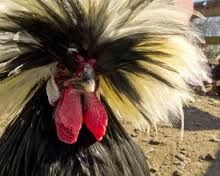 pretty Polish rooster