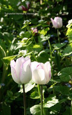 Aparte witte Triumph tulp Shirley, met een paars randje en violet kleurige spikkels. Kleurt van wit naar paars. komt terug. Mooi in een romantische tuin.