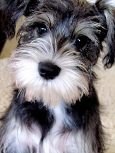 This is Murphy what a sweet and super adorable mini schnauzer. his face is so so cute✨✨