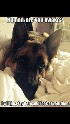What Is The German Shepard's Real Temperament? – Pets and Animals Funny Animal Pictures, Cute Funny Animals, Cute Baby Animals, Funny Dogs, Animals And Pets, Cute Puppies, Cute Dogs, Dogs And Puppies, Doggies