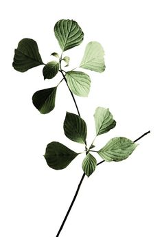 structure and minimalism - Flowers - Minimalismus İdeen Botanical Wall Art, Botanical Drawings, Botanical Illustration, Botanical Prints, Photoshop, Pagoda Dogwood, Leaf Photography, Plant Aesthetic, Plants Are Friends