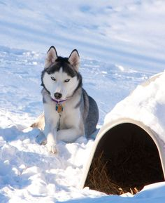 Siberian Husky - my dream dog, with blue eyes, I'm in love with it