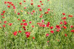 poppies...beautiful poppies