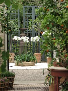 White Agapanthus and folding gates to a secret garden White Agapanthus, Agapanthus In Pots, Garden Spaces, Garden Pots, Dream Garden, Home And Garden, White Gardens, Garden Inspiration, Secret Gardens