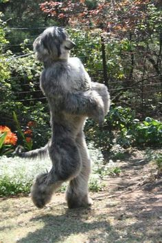 Afghan Hound walking like a human. Possibly mistaken for a Sasquatch.