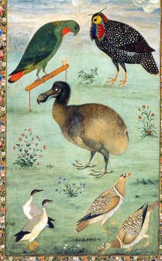 Painting by the Mughal artist Ustad Mansur from c 1625, which may be one of the most accurate depictions of a live dodo. Two live specimens were brought to India in the 1600s according to Peter Mundy, and the specimen depicted might have been one of these. Other birds depicted are Loriculus galgulus (upper left) Tragopan melanocephalus (upper right), Anser indicus (lower left) Pterocles indicus (lower right). Hermitage, St. Petersburg. text and image Wikimedia via flickr