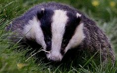 Badger, powerful medicine