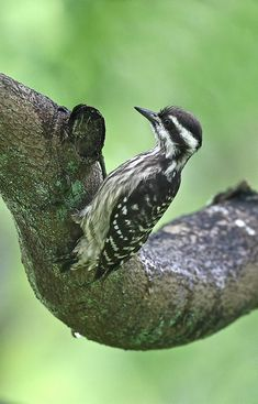The Sunda Woodpecker (Dendrocopos moluccensis) is a species of bird in the Picidae family. It is found in Brunei, Indonesia, Malaysia, and Singapore. Its natural habitats are subtropical or tropical moist lowland forests, subtropical or tropical mangrove forests, and subtropical or tropical moist montanes .