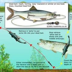 Pike Rigs #fishing #fishingtip