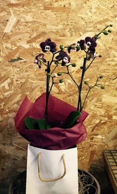 phalaenopsis kaoda  | Phal. Kaoda Twinkle Chocolate Drops Su 3 žiedynais!