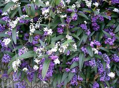 Hardenbergia Vine Evergreen - Be sure to visit GardenAnswers.com and download the free plant idenfication mobile app.