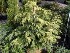 Golden Showers Cypress