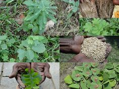 Medicinal Rice Formulations for Diabetes Complications, Heart and Liver Diseases (TH Group-67) from Pankaj Oudhia's Medicinal Plant Database