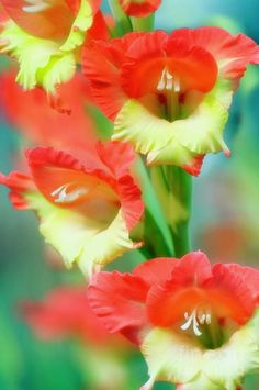Butterfly Gladiolus   Gladiolus are the most beautiful flower of all in my opinion!  Would love to have this one.