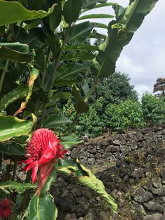 The impressive, dry-stacked rock walls lining the historic Ala Nui trail that skirts our property are a notable testimony to the historical significance of our land. The paths are lined with Kona coffee trees and beautiful torch ginger. Tropical Fruits, Tropical Garden, Ginger Plant, Historic Properties, Romantic Getaway, Big Island, Bed And Breakfast, Lava, Acre