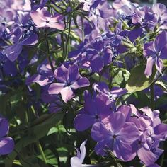 Best Fragrant Perennial Plants for the Midwestern United States