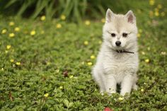 Alaskan Klee Kai can i please have you? Cute Puppies, Dogs And Puppies, Doggies, Dog Lover Gifts, Dog Lovers, Animals Beautiful, Cute Animals, Alaskan Klee Kai, Pet Puppy