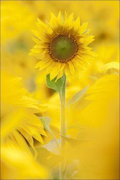 Sunflower  Werte sichern für die nächsten Generationen! www.bienenschutzgarten.at