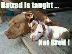 HaTReD iS TauGHT...NoT BReD! {PiT BuLLS}                                                                                                                                                      More