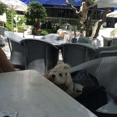 Scarlett voulait voir le #Ritz ! #doginmadrid #cotondetulearsofinstagram #coton #cutedog #cotondetulear #tourism #dogsofinstagram #dogtourism #spain #ritzcarlton #ritzmadrid by pascalelevesquehumoriste