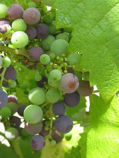 Early Veraison | Flickr : partage de photos !