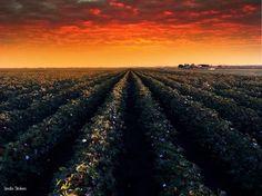 near Vernon, Texas.  cotton at sunrise