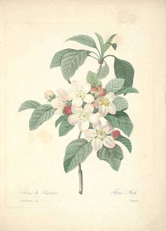 Redouté, Malus. http://plantillustrations.org/illustration.php?id_illustration=46824