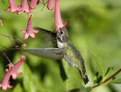 Hummingbird sipping....